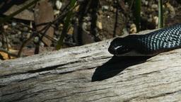 red bellied black snake Footage