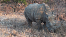 rhinoceros grazing Footage