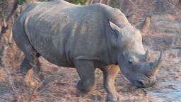 rhinoceros close up Footage