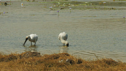 pair of royal spoonbills Footage