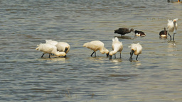 royal spoonbills feeding Footage