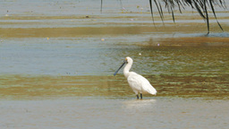royal spoonbill Footage