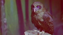 Rufous Owl Close Up stock footage