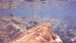 sailfin tangs hanauma bay Footage