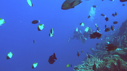 butterflyfish and scuba divers Footage