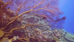 sea fan close up Footage