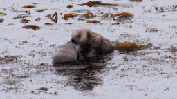 southern sea otters Footage