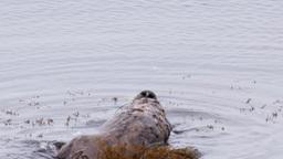 sea otters Footage