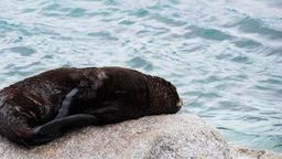 seal pup resting Footage