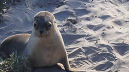 sea-lion pup Footage