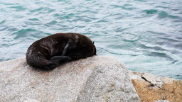 Fur Seal Pup stock footage