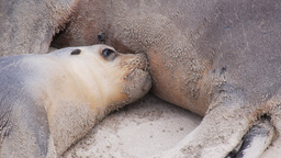 young sea-lion breastfeeding Footage
