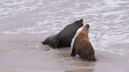 sea-lions fighting Footage