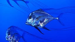 juvenile threadfin trevally Footage