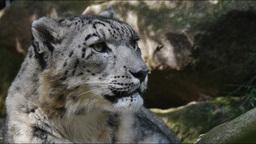 snow leopard Footage