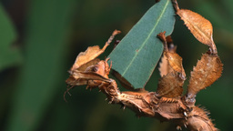 spiny leaf insect close up Footage
