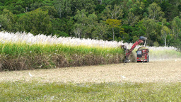 sugar cane harvester and truck Footage