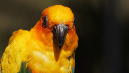 sun conure close up Footage