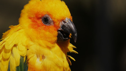fluffy sun conure Footage