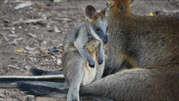 swamp wallaby joey Footage