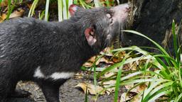 tasmanian devil Live Action