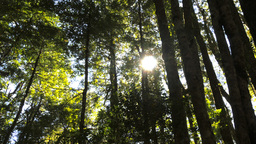 tasmanian beech forest Footage