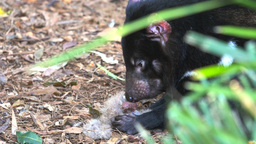 tasmanian devil eating Footage
