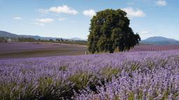 tasmanian lavender fields-1 Footage