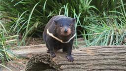 tasmanian devil on a log Footage