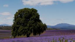 tasmanian lavender fields-2 Footage