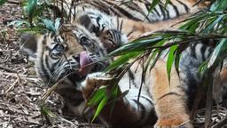 tiger cubs Footage