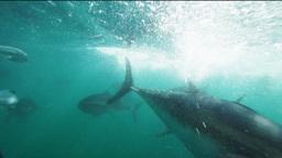tuna feeding Footage
