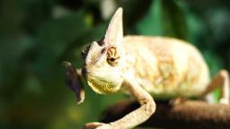 veiled chameleon Footage