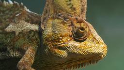 chameleon close up Footage
