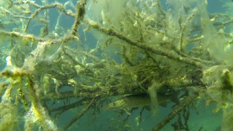 Pike hidden under a submerged fallen tree Live Action