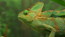 green veiled chameleon lizard Footage