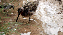 wading birds feeding Footage