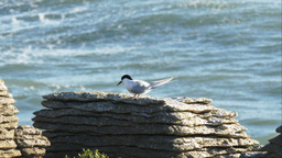 white fronted tern Footage
