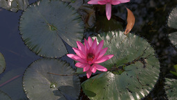 water lily flower close up Footage