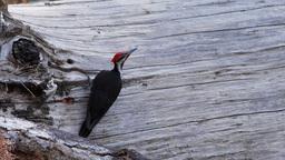 pileated woodpecker Footage