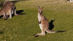young kangaroo Footage