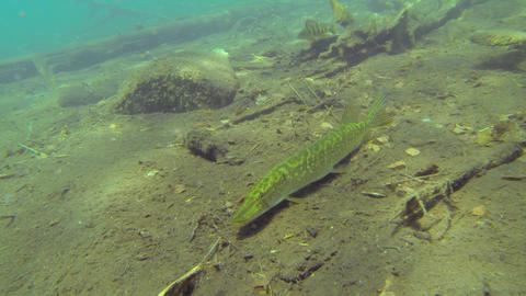 Pike staying still on the lake bottom Live Action
