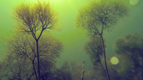 Close-up underwater shot of pond water-crowfoot aquatic plants looking like mini Footage