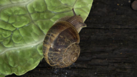 Snail eating a lettuce over old wood panel Footage