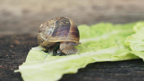 Snail Eating A Lettuce And Defecating stock footage