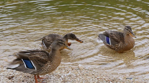 Mallards In Pond Cleaning Plumage Slow Motion 11678 stock footage