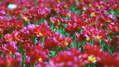 Beautiful large red Dutch tulips with dof Footage