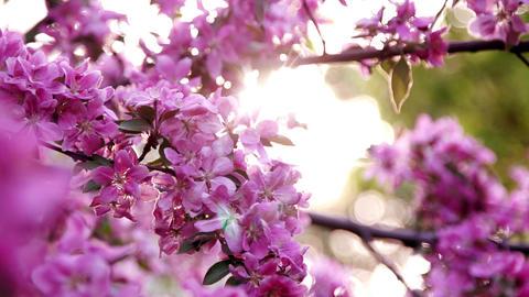 Sakura Cherry Blossoms Against The Sun stock footage