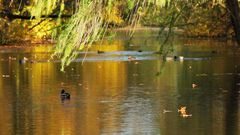 Autumn pond and ducks Stock Video Footage