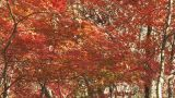 Autumn Leaves in Momiji mountain,Yamanashi,Japan Footage
